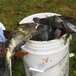 Рыбалка на Коламбии. Трофейный лосось